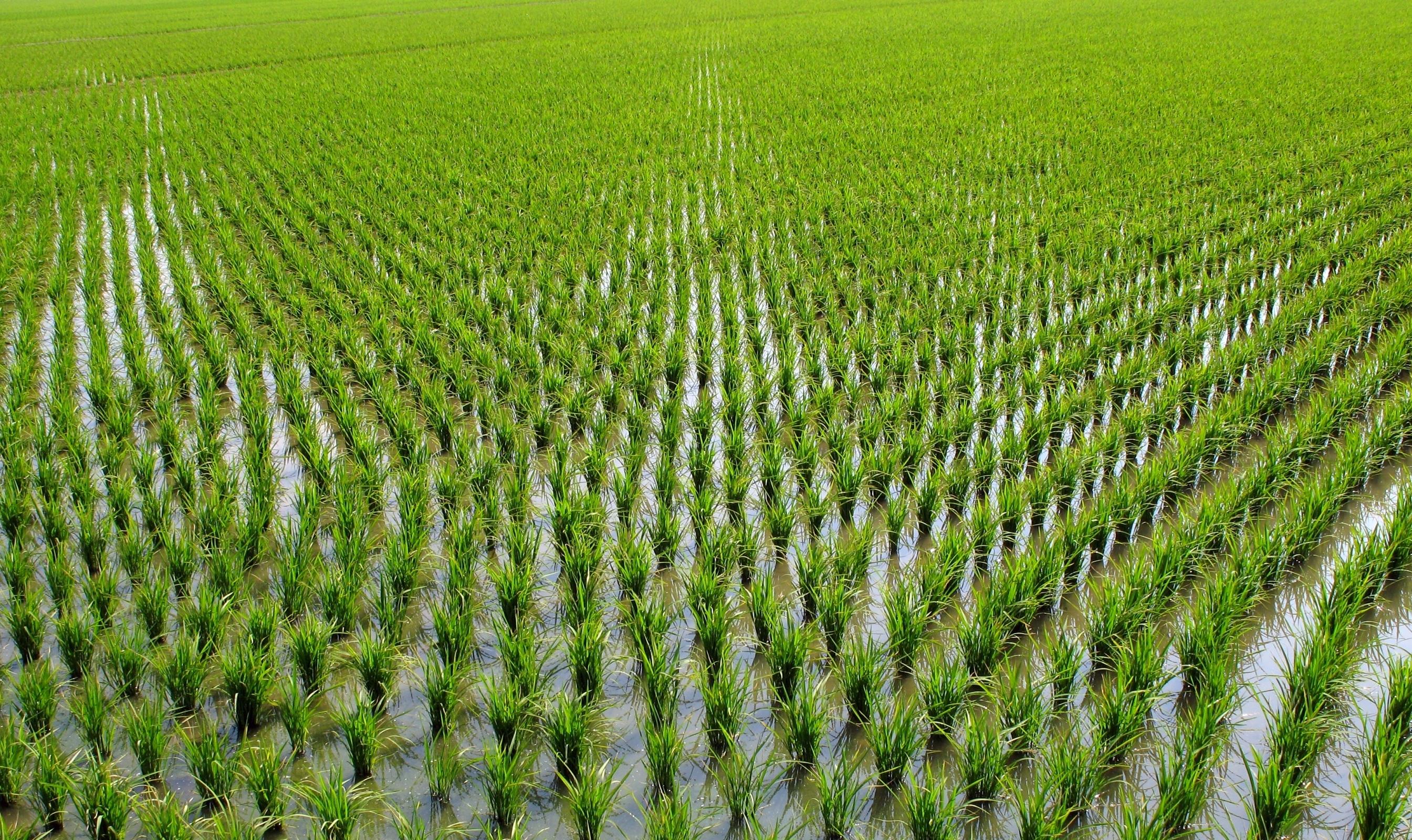 paddy field के लिए चित्र परिणाम